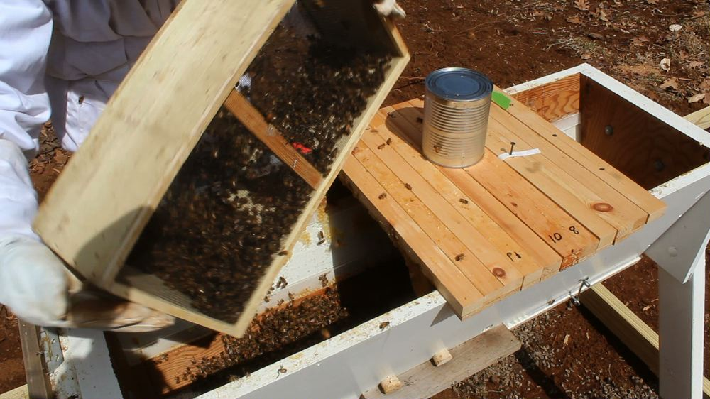 Putting New Bees in Top Bar Beehive