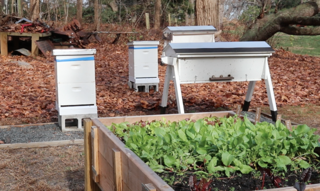 Bee & Garden Update – Freeman Beetle Trap + How to Feed the Bees in Winter