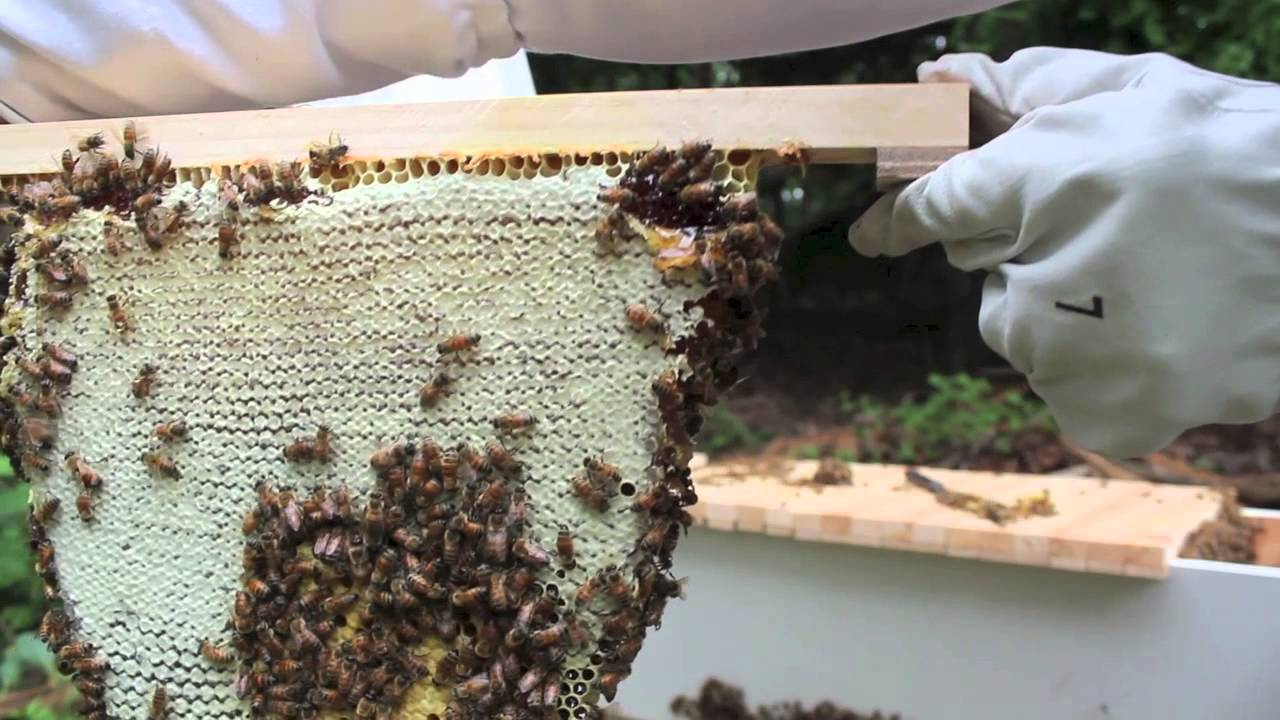 Top Bar Hive Honey Harvest by Jon Peters