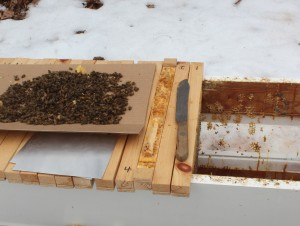 Cleaning the hive off all the dead bees.
