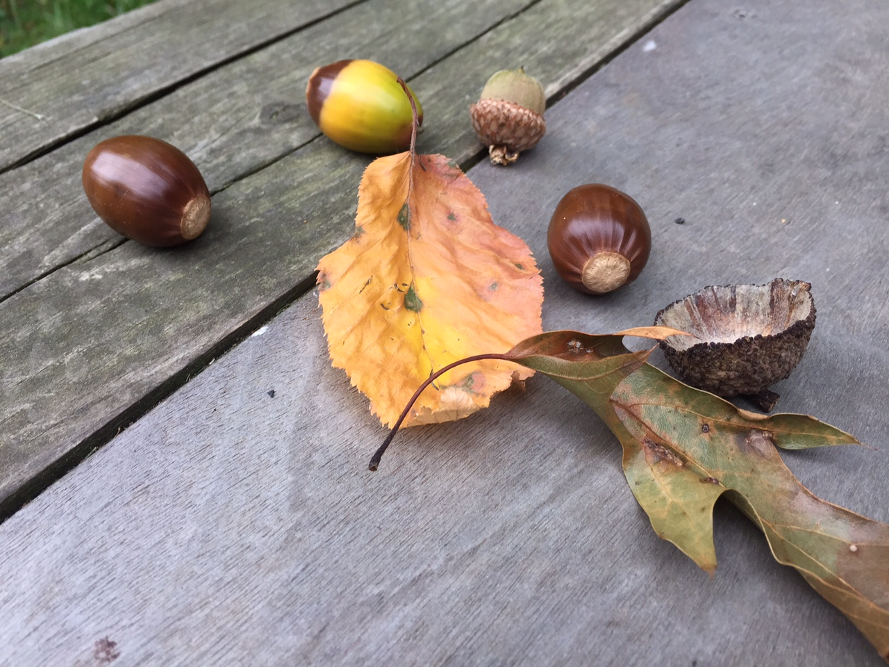 Photo of the Week & Painting – Acorns – 9-23-15